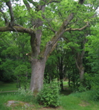 Eike tre i Rødsparken i Halden