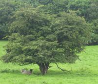 Fairy treet i Irland fotografert av Solveig Løvhaug